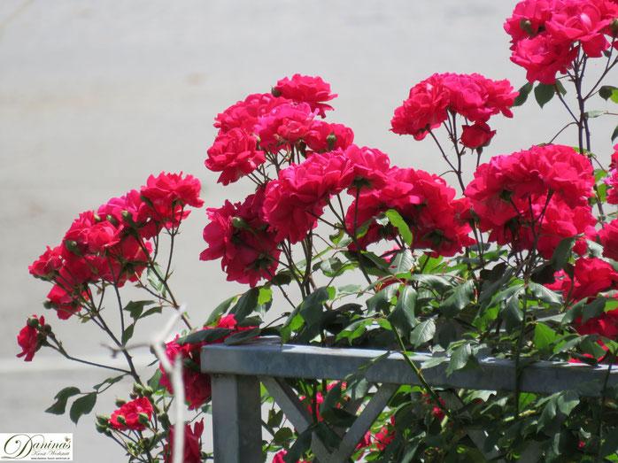 Rosengarten - rote Rose