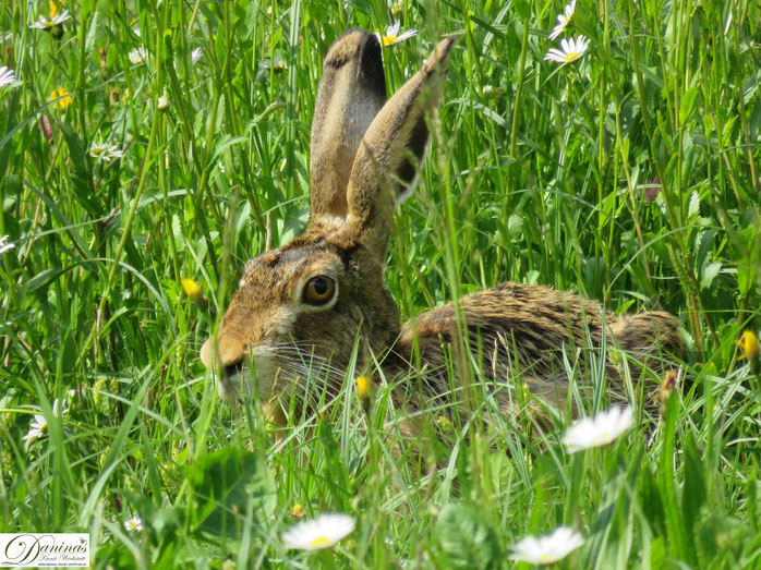 Hase in Blumenwiese