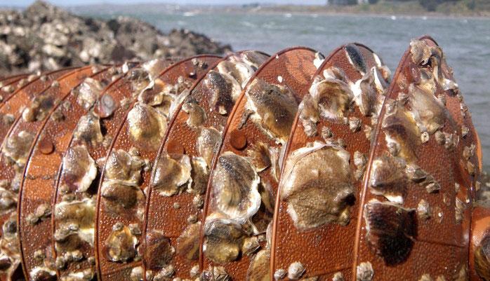 Huîtres sur collecteur