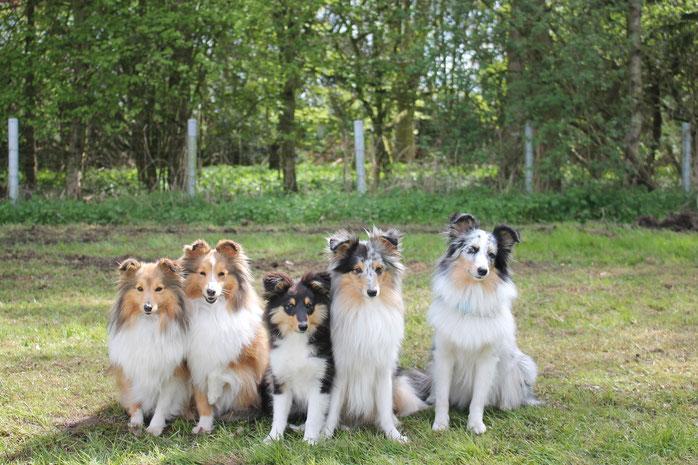 unsere Sheltietruppe von links: Amélie (Marianna's Best Amélie), Heaven (Ch. Lütt Mabel zur Lewitzperle), Floyd und Eros (von der Sheltieban.de), Silver (Family's Dream Deep Silver)