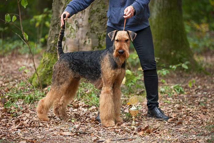 Airedale Terrier vom Juratal, Camillo vom Juratal