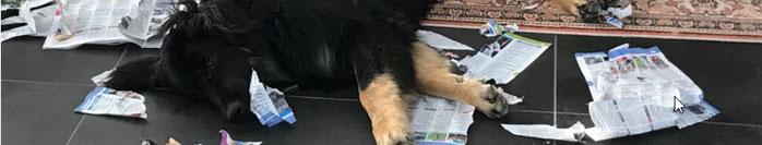 Hund zerreisst Zeitung