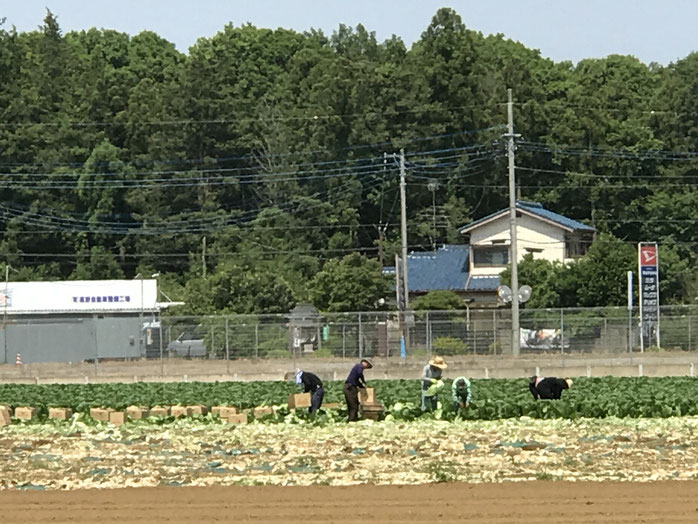 キャベツ収穫作業(2018.6.15:茨城県)