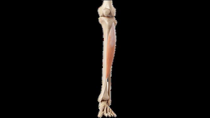 Muscolo tibiale anteriore