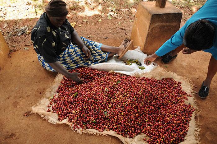 摘み取ったコーヒーの赤い実を、先ずは手選別