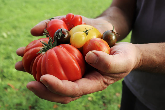 Tomaten in Händen
