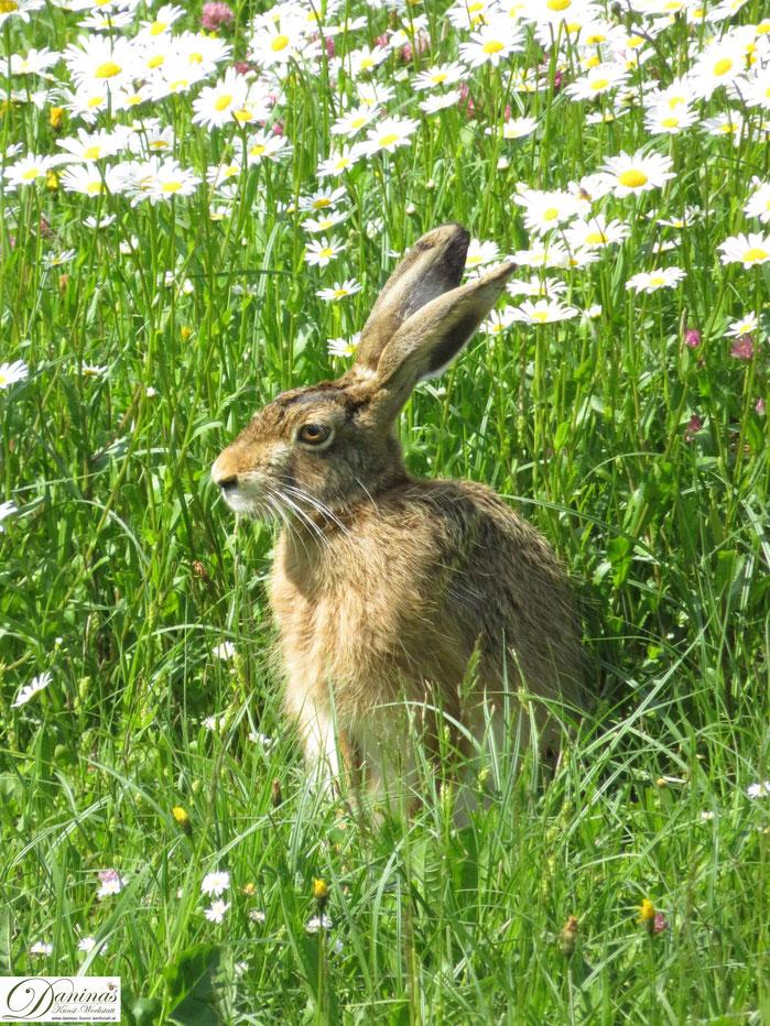 Hase im Garten auf der Blumenwiese