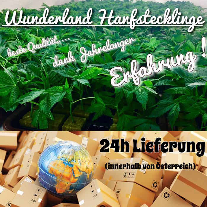24 Std Versand von Hanfstecklingen und Hanfpflanzen
