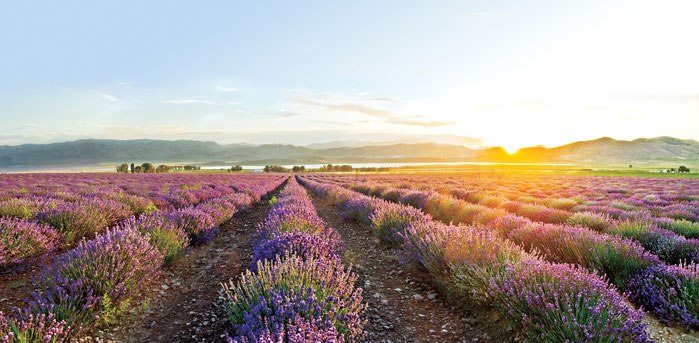 Lavendel Farm von Young Living