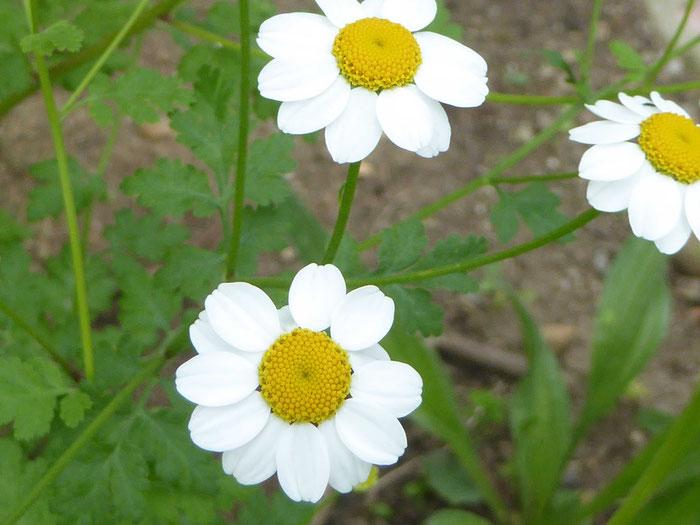 Blüte Mutterkraut