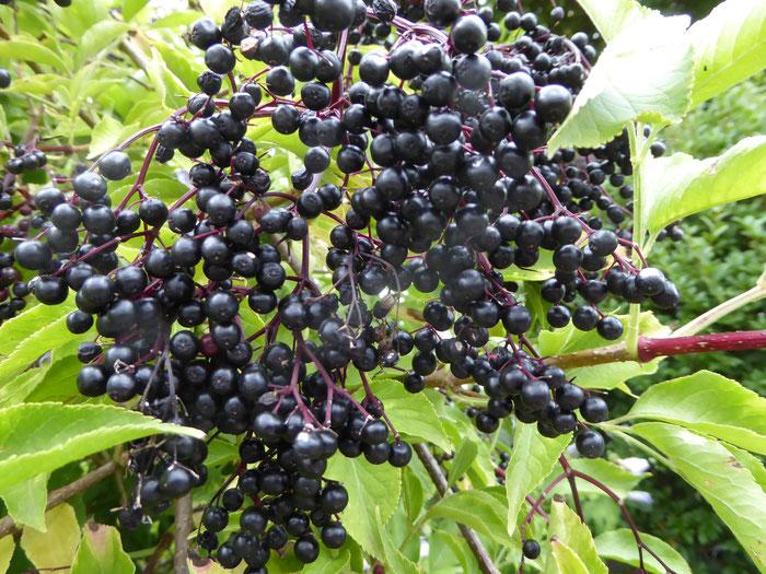 Beeren vom Holunder