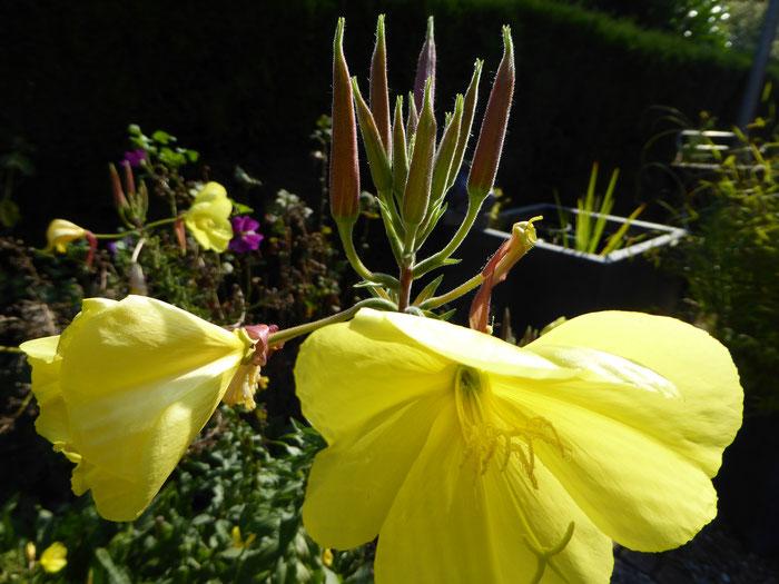 knospe und Blüte  der Nachtkerze