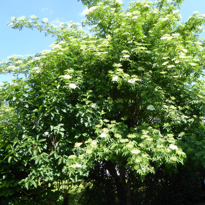 Baum mit Holunderblüten