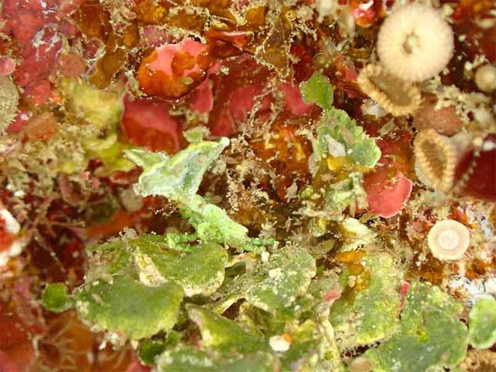 水中植物「サボテングサ」よく見ると「コノハガニ」が擬態しています