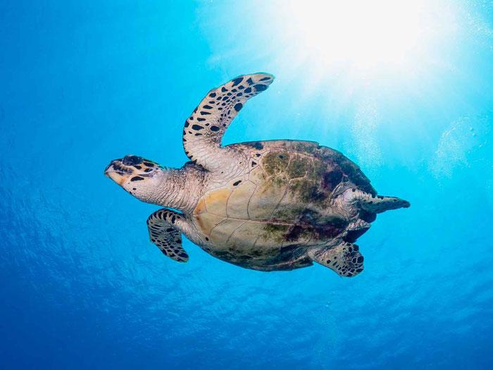 海のアイドル「ウミガメ」も脊椎動物