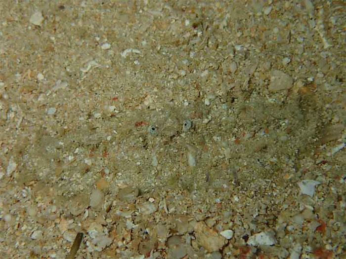 砂の中に身を潜めている甲殻類の「カニ」