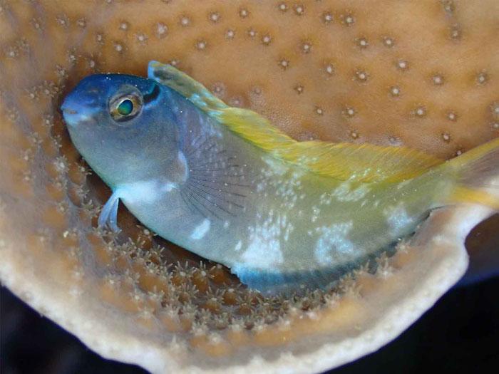 「オウゴンニジギンポ」夜は珊瑚のベットでスヤスヤ