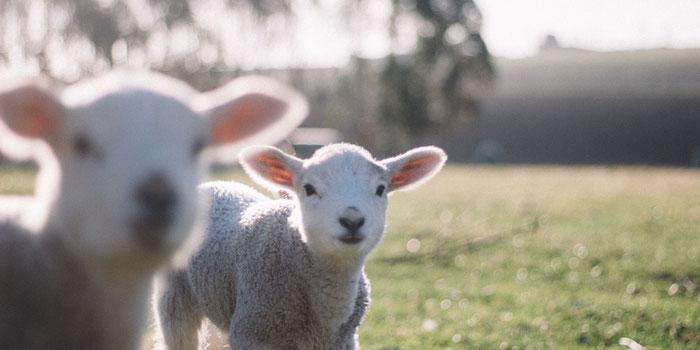 why vegans love animals
