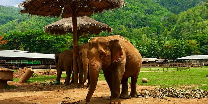 elephants at elephant nature park