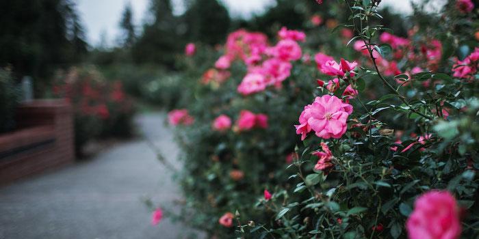Rose garden Portland
