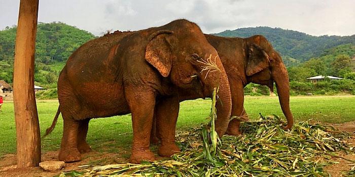 elephant buddies eating corn at elephant nature park