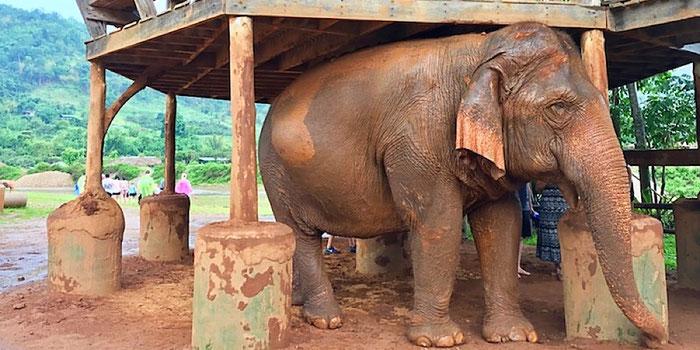 elephant in rain at elephant nature park