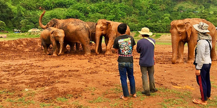 elephant herd at elephant nature park in thailand