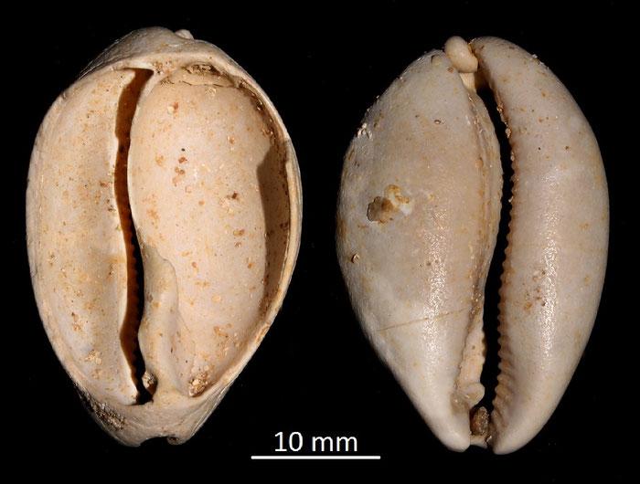 Cypraea leporina, Miocene dell'Aquitania