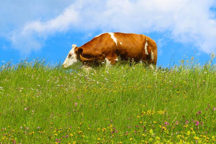 Eine Augenweide für Genießer: Milchkuh kriegt aromatische Kräuter und gibt die beste Milch des Jahres