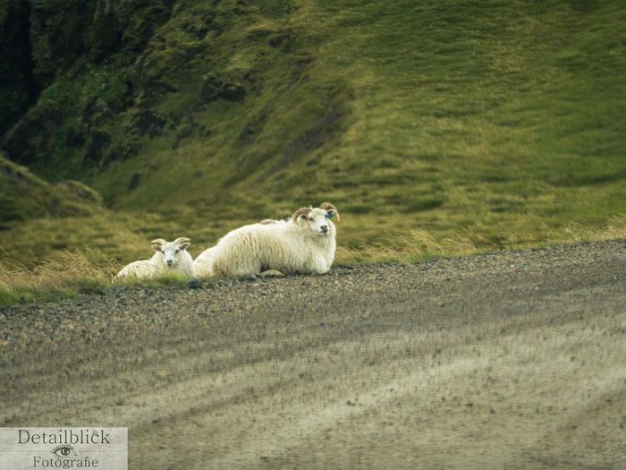 Schafe am Straßenrand