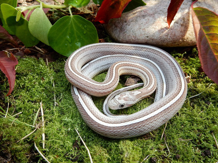 Kornnatter Ghost Tessera motley~striped het.Sunkissed