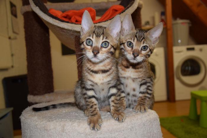 Bayu (rechts), 9. Woche, mit Schwesterchen Boo.