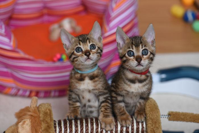 Boo (rechts), 6. Woche, mit ihrem Brüderchen Bayu.
