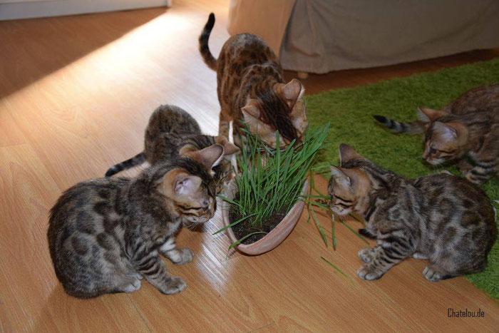 28. März 2016, Katzengras-Party mit ihren Kitten