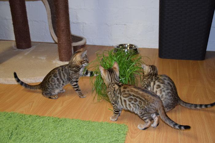 Banou (links), 11. Woche, erste Katzengrasparty. Mit Bayu und Boo.