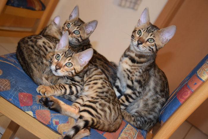 Bao, 12. Woche (sitzt rechts auf dem Stuhl, Brüderchen Bayu liegt vorne).