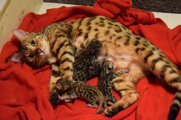Am 12. Januar 2016 brach Esiah 4 süße Kätzchen zur Welt (Aela, Anzu, Aiji und Anouschka)