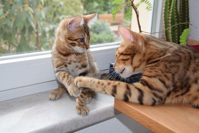 Ostern 2016. Anzu, fast 11 Wochen alt, spielt mit seiner Mama.
