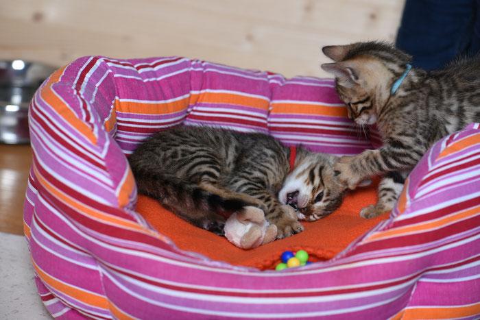 Boo, 6. Woche, mit ihrem Brüderchen Bayu,