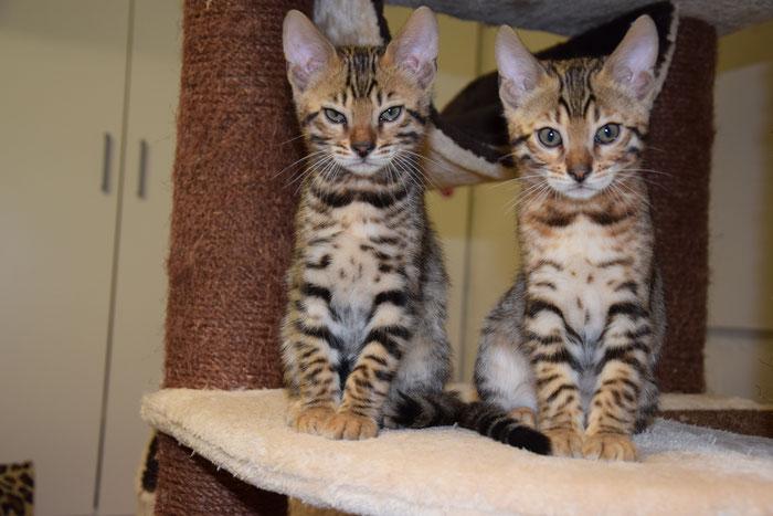Bayu (rechts) mit Brüderchen Bao, 10. Woche.