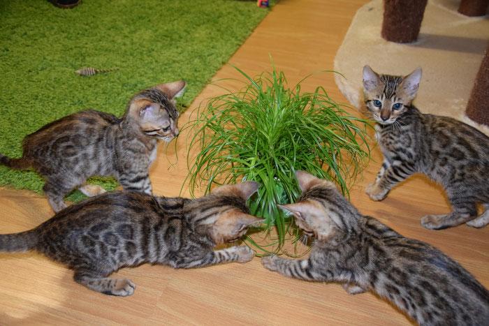 Banou (unten links), 11. Woche, mit ihren Brüdern und ihrer Schwester bei ihrer ersten Katzengrasparty ;-).