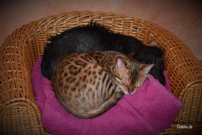 29. November 2016, Esiah schläft bei unserer Dackeldame Yuna