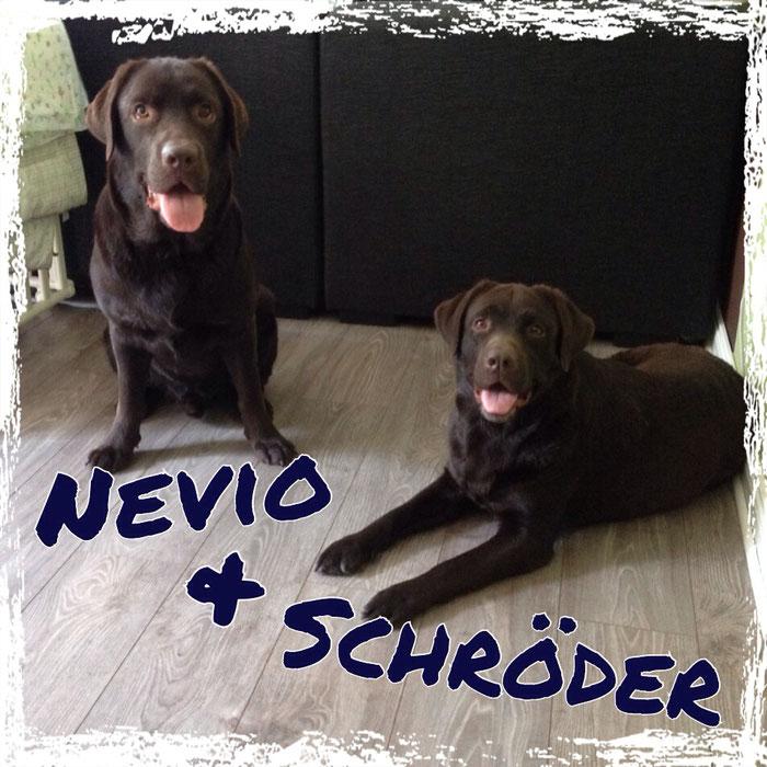 Labrador Retriever mit Trikuspidaldysplasie