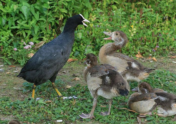 Gänsekinder werden von Blässhühnern attackiert. Die Eltern greifen nicht ein.