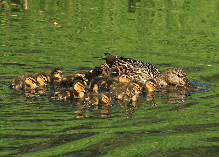 13 Entenküken, darunter auch sogenannte Blendlinge.