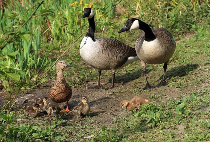 Meistens gute Nachbarn: Enten und Gänse