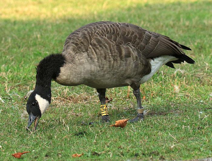 Die Gans TG4 lebt sein mindestens 12 Jahren im Dorneburger Park.  Sie ist eine wichtige Persönlichkeit für die Schar.