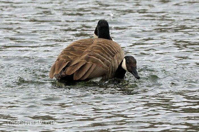 Kanadagänse bei der Paarung