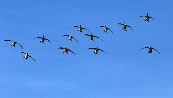 fliegende Gänseschar
