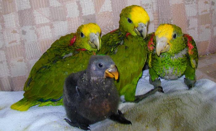 Papageien Zucht in der dritten Generation